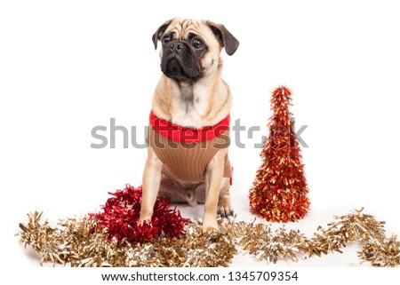 Pug wearing a Christmas costume next to a tinsel tree and tinsel  #1345709354