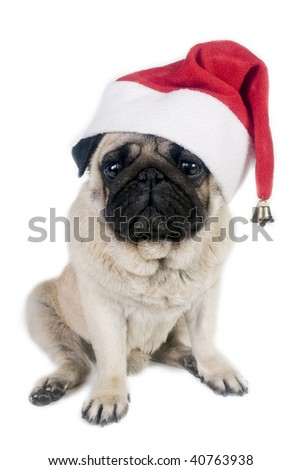 Pug wearing a santa hat.
