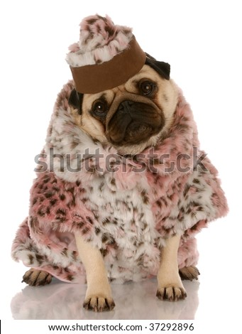 pug wearing leopard print fur coat and hat on white background