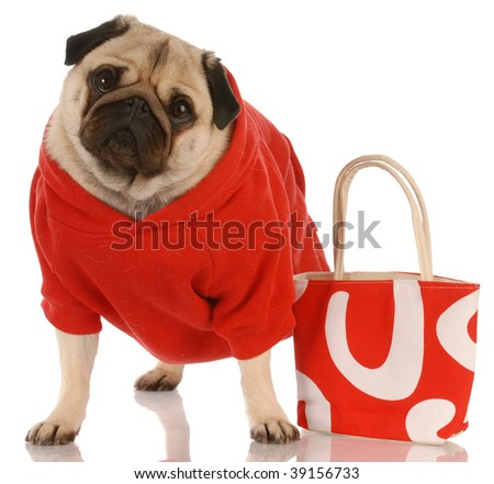 pug wearing red sweater standing beside fashionable red purse