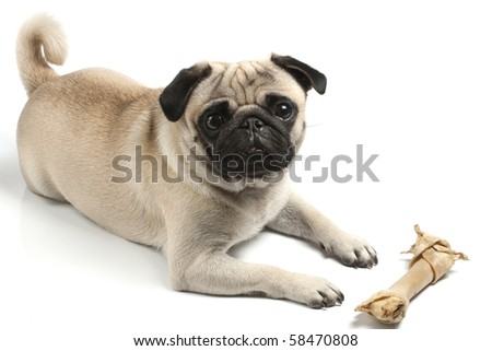 pug with biscuit bone