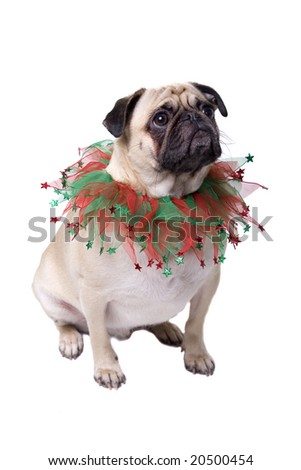 Pug with Christmas Collar isolated on white background.