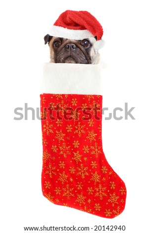 pug with santa claus hat inside festive christmas stocking with gold stars hanging isolated on a white background