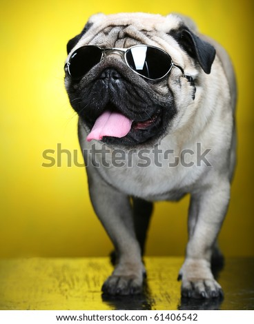 pug with  sunglasses. fun shoot.