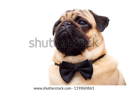 Pug with tie butterfly. Isolated on a white background
