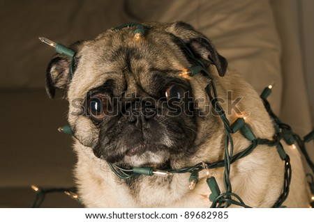 Pug Wrapped in Christmas Lights.