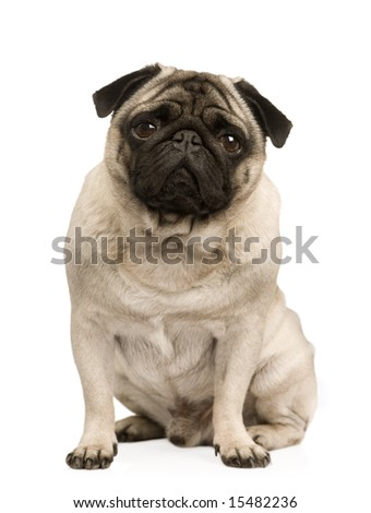 Pug (4 years) in front of a white background
