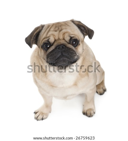 Pug (3 years) in front of a white background