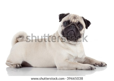 pug laying down pug 2 years old lying down in front of white background 2317