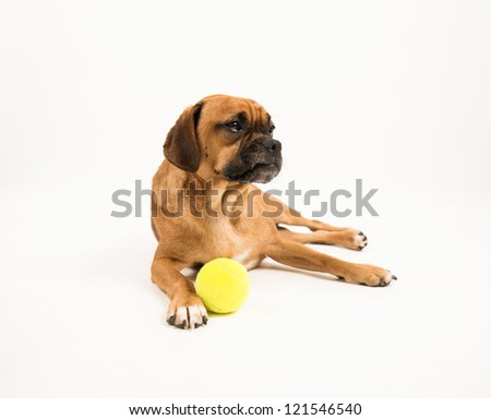Puggle Dog with Tennis Ball on White Background