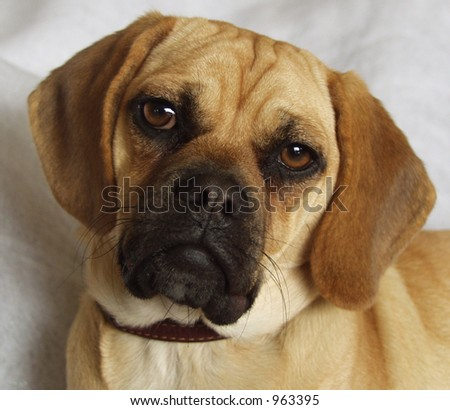Puggle head shot