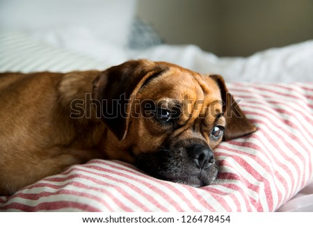 Puggle Pup Sleeping in Owners Bed