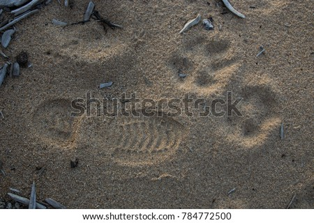 Pugmark of Polar Wolf compared to man's footprint #784772500