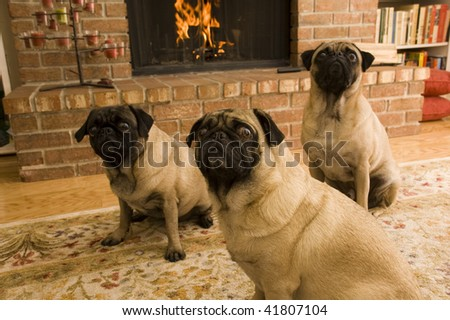 Pugs in Front of Fireplace