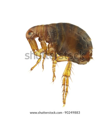 Pulex irritans, human flea or flea, isolated on a white background
