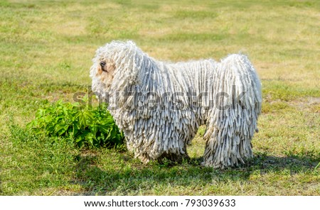 Puli in profile. The Puli stands on the grass in the park. Zdjęcia stock ©