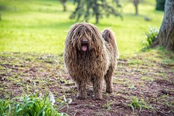 Puli, small-medium breed of Hungarian herding and livestock guarding dogbreed in a garden