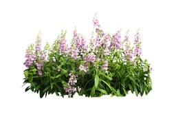 pulple flower bush tree isolated tropical plant with clipping path