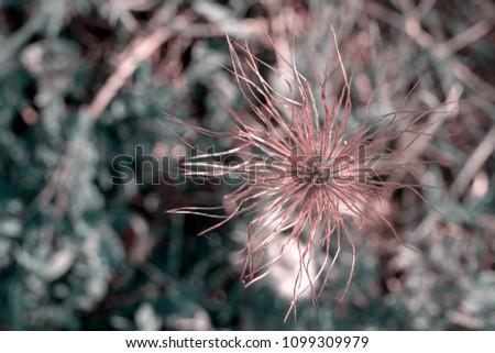 Pulsatilla flower detail #1099309979