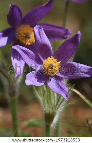 Pulsatilla patens, eastern pasqueflower. Bright purple flowers of Pulsatilla patens in green forest in springtime outdoors close-up. Spring purple flowers background. Play of light and shadow. Stok fotoğraf ©