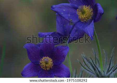Pulsatilla patens, eastern pasqueflower, spreading anemone. Bright purple-blue flowers of Pulsatilla patens in  springtime outdoors close-up. Spring purple flowers background. Stok fotoğraf ©