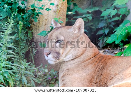 Puma chilling in the summer time