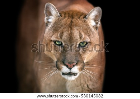 Puma, cougar portrait isolated on black background #530145082