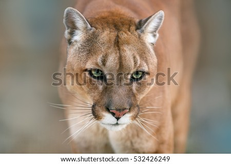 Puma, cougar portrait on light background