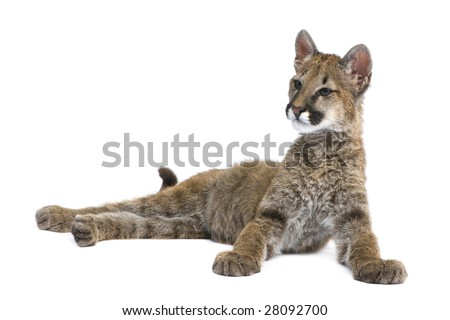 Puma cub - Puma concolor (3,5 months) in front of a white background