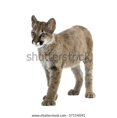 Puma cub, Puma concolor, 3 to 5 months old, in front of a white background