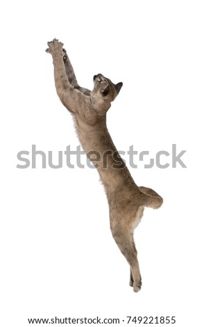 Stock Photo Puma cub, Puma concolor, 1 year old, leaping in midair against white background, studio shot