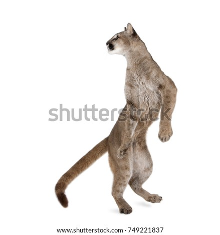 Stock Photo Puma cub, Puma concolor, 1 year old, standing on hind legs and looking back against white background, studio shot