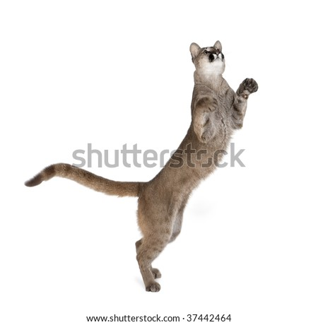 Puma cub, Puma concolor, 1 year old, standing on hind legs and looking up against white background, studio shot