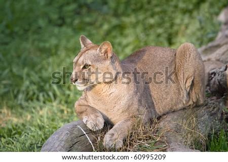 Puma or Cougar in Patagonia  - Puma concolor - stock photo