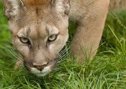 Puma stares intently before pouncing.