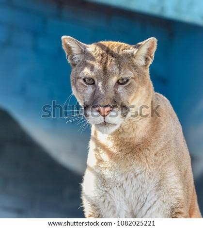 Puma, wild cats, big cats #1082025221