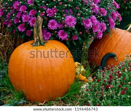 Pumkins next to a pot of purple mums. #1196486743