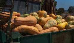 pumpkin collection on tractor trailer .sunny day.blue sky