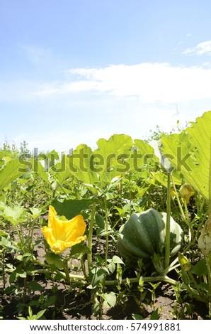 Pumpkin cultivation #574991881