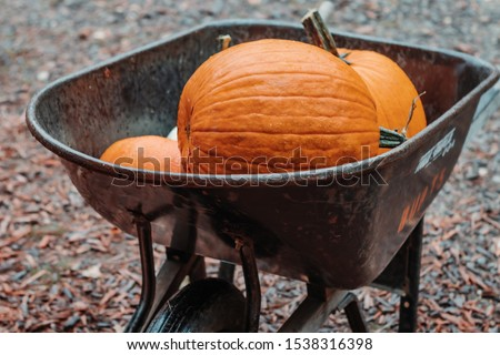 Pumpkin Fall Festival in a small rural country rustic town being pushed in a wheelbarrow  #1538316398