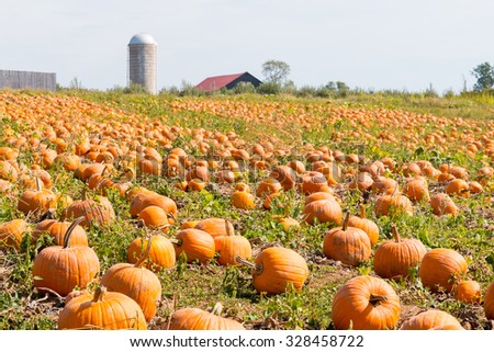 Pumpkin field in a country farm in Kentucky, USA.   Autumn landscape.