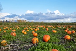 Pumpkin field in a country side with partially cloudy sky, fall season in agriculture, orange large pumpkins in a field ready to be picked up, pumpkin patch in a rural area.