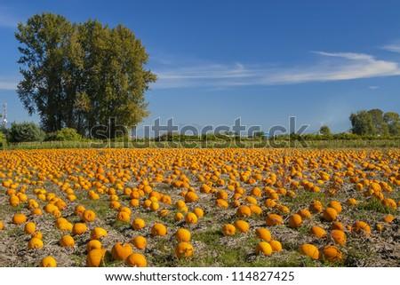 Pumpkin field on a bright autumn day