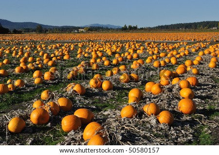 Pumpkin field on a bright autumn day in martindale road in saanish peninsula, vancouver island, british columbia, canada