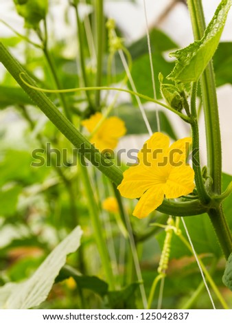 Pumpkin flower on stem  growing in the plant