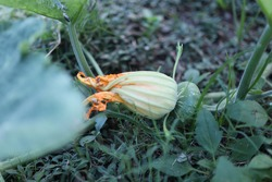 Pumpkin flowers are a young fruit on the pumpkin tree, an organic vegetable in the garden.