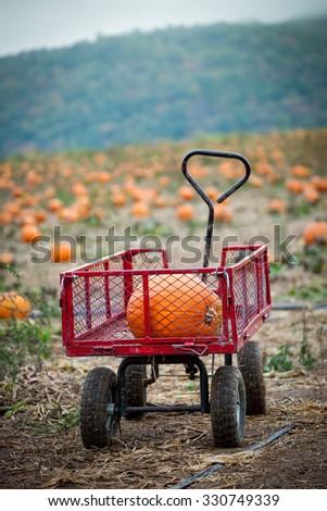 pumpkin in a cart at a pumpkin...