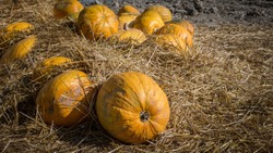 Pumpkin in hay,harvest of pumpkin seeds,Halloween decorations.
