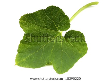 Pumpkin Leaf Stock Photo 18390220 : Shutterstock