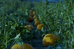 Pumpkin patch at night, orange pumpkins in field in moonlight, scary Halloween scene dark background.